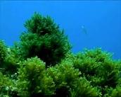 Alga verde del género ULVA .