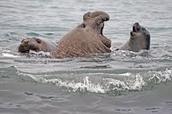 elephant seals adaption