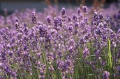 GETTING STARTED ON YOUR JOURNEY WITH ESSENTIAL OILS