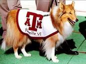 A&M Mascot