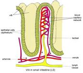 Villi Diagram