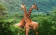 Giraffes, Giraffes, and more Giraffes