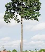 Brazil-Nut Tree