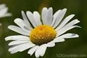 Russia's flower