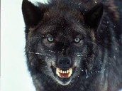 Vasile fanes father as a wolf