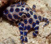 Organism #3-Blue Ring Octopus(Hapalochlaena Maculosa)