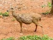 Javen Rusa Deer