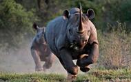 My animal is the rhino