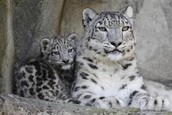 The Snow Leopard is a critically endangered animal