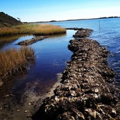 Pamlico Sound Oysters