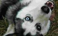 4. Siberian Husky
