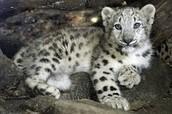 Leopardo de las nieves bebe