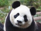 Our Panda