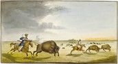 The Metis hunting bison