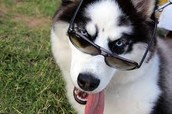 This is a husky with sun glasses on