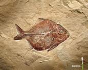 Fish Fossil