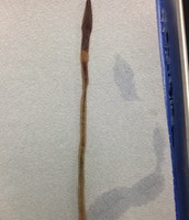 Earthworm (Before Dissection)