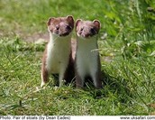 Two Stoats