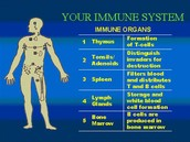What is the Immune System