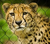 Why Are Cheetahs Becoming Endangered? Do They Have Any Natural Enemies?