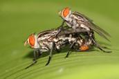Flesh Fly Mating