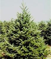 balsam trees