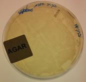 בקרה חיובית (מצע גידול אגר+ חיידקים (גם טרנסגנים וגם לא))