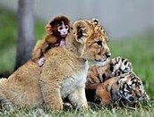 Lions ark!