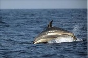 A dolphin at the Atlantic Ocean