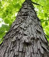 Shagbark Hickory (Tree)