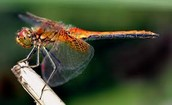 Dragon Fly: