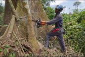 A worker cutting down a tree.