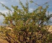 Myrrh tree