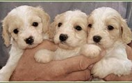 These puppies are what my dog looks like.