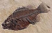 Fish in rock