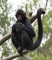 The Black Headed Spider Monkey