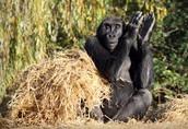 A very happy, healthy gorilla!
