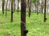 Rubber Tree Farms