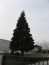 State tree Liriodundron Tulipifera