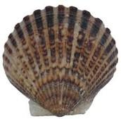 bay scallop shell
