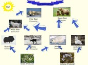 food webs and food chains in the arctic tundra