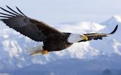 Bald Eagle +