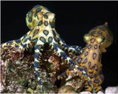 The Blue-Lined Octopus (Hapalochlaena fasciata)