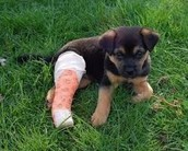 A dog with a broken leg