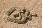 Rattle snake adaptation