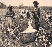 A photo of slavery on a cotton plantation