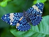 La mariposa azul.
