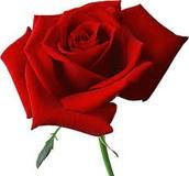 Rose +