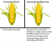 Corn is a big crop for GMO