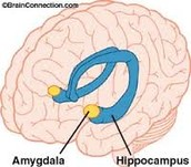What is the amygdala?